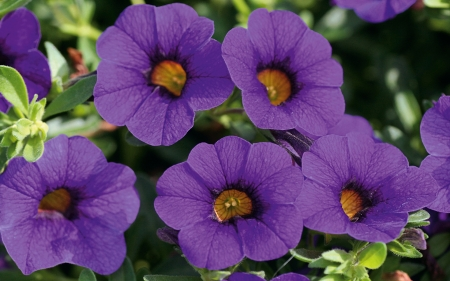 Calibrachoa - flowers, nature, violet, calibrachoa, photography