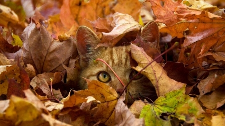 Peek a Boo Here I Am :) - Brown, Green, Orange Leaves, Cat, Leaves, Peeking, Hiding, Camophlage