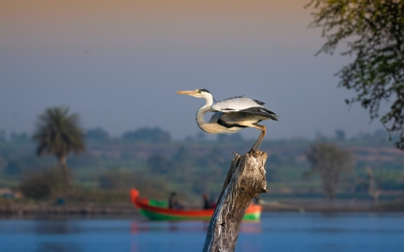 Heron - trees, heron, wood, boat, water, bird