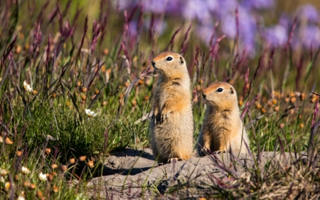 Gophers - rodents, small, animals, gophers, America