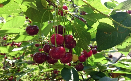 Cherries - leaves, tree, red, berries, cherries, Latvia