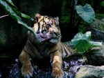 Tiger_Indonesia