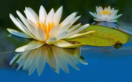 Water Lilies - water, refection, White, flowers, nature, water lilies