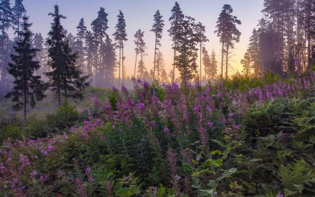 Sunrise in Forest - Latvia, flowers, forest, sunrise, trees