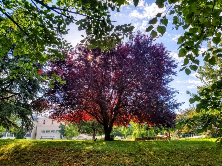 beautiful tree under the sunlight - Park, Red, Tree, Greenery