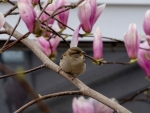 Sparrow in the Dogwood