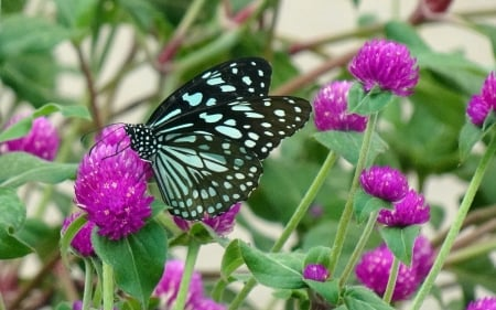 Butterfly on Flowers - pink, butterfly, macro, flowers, insect, nature