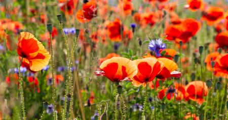 Poppies and Cornflowers - web, poppies, sunlight, flowers, nature, buds, corn flowers, field