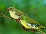 Green Finches