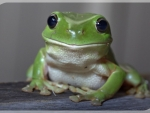 LOVELY GREEN FROG