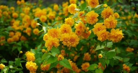 Japanese Kerry Flowers - shrub, Japanese Kerry flowers, sunlight, bright, beauty, nature