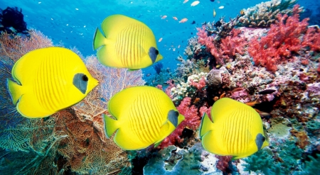 Yellow butterfly fish - butterfly fish, fish, wallpaper, wild, wildlife, nature, animals, wild animals