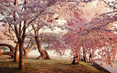 Blossoming trees - pretty, flowers, blossoms, spring, nature, river, trees, pink, season