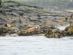 Young Atlantic Grey Seal on the Farne Islands