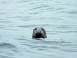 Adult Grey Seal in the North Sea