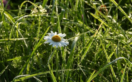 Daisy in Dew - dew, drops, grass, daisy, Latvia