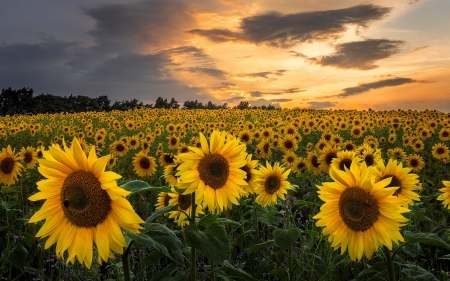 Sunflower Field - yellow, nature, sunflowers, field