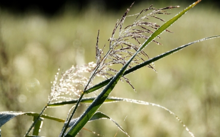 Bent-grass in Dew - Latvia, dew, drops, bent-grass