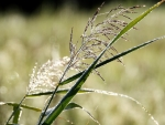 Bent-grass in Dew
