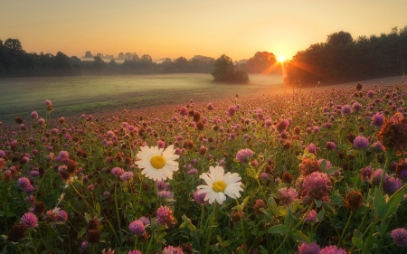 Meadow at Sunrise - flowers, nature, sunrise, meadow