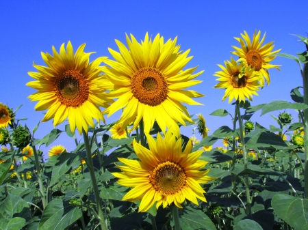 Lovely sunflowers - pretty, lovely, cheerful, sunflowers, flowers, yellow, summer, nature, HD