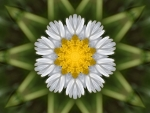 Kaleidoscoped Daisy