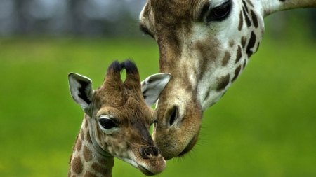 Giraffes - mother, giraffe, baby, animal, cute