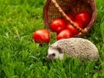 Hedgehog and Tomatoes