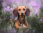 Dachshund in Heather