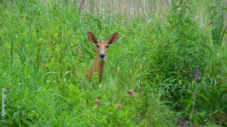 Listening Doe - whitetail, white tailed doe, grass, green, greenery, flowers, deer, whitetai1 deer