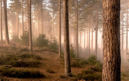 Misty Forest - forest, nature, trees, mist