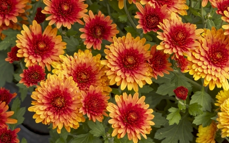 Chrysanthemums - flowers, chrysanthemums, nature, orange