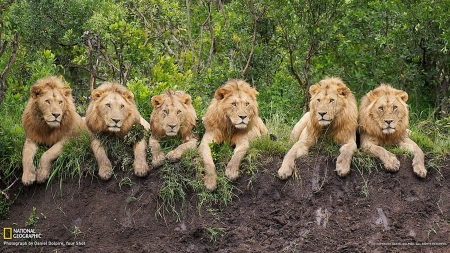 Lions resting - animal, leu, lion, all, big cat, cat