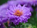 Closeup asters