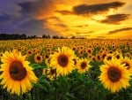Sunflowers Wallpapers Sunflowers Backgrounds Sunflowers Images Desktop Nexus