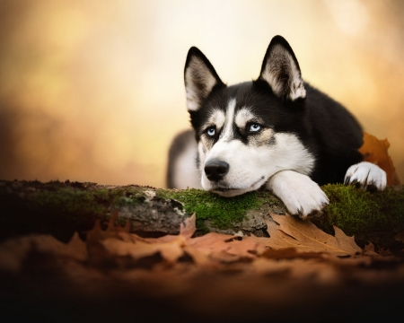Husky - cute, Husky, dog, animals