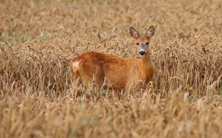 Deer in Grain Field