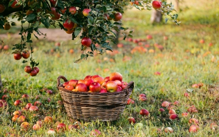 Apples - tree, grass, basket, apples, orchard