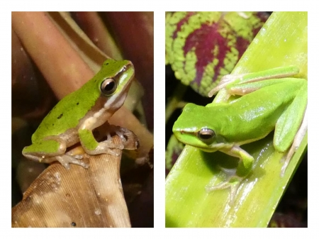 FROG COLLAGE - NATURE, COLLAGE, FROG, IMAGE