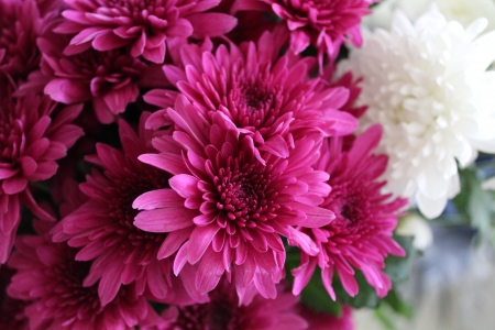 Pretty Mums - UHD, macro, flowers, nature, cerise, pink, pretty, 4K, photography, wallpaper, chrysanthemums