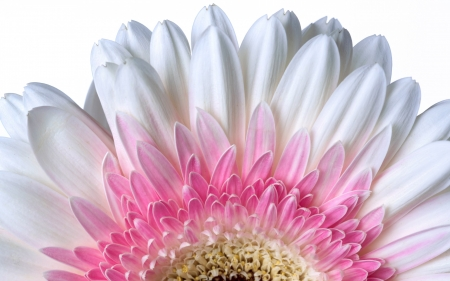 Gerbera - gerbera, flowers, yellow, nature, white, pink, pretty, HD, white bckg, half, macro