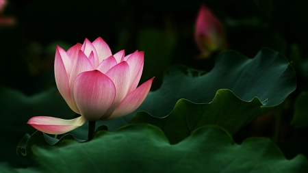 Lotus - flower, lotus, green, pink