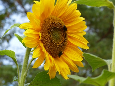 Sunflower - sky, green, summer, yellow, garden, sunflower, leaf