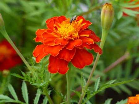 Marigold - green, orange, flowers, garden, summer, colour, buds, plans