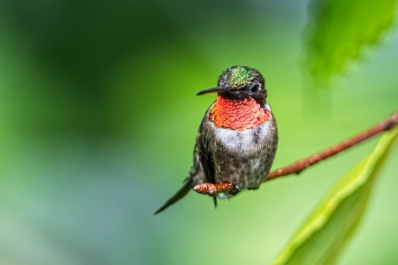 ruby throated hummingbird - ruby, hummingbird, branch, throated