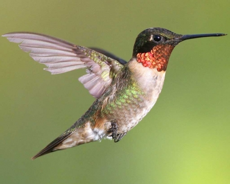 ruby throated hummingbird - ruby, hummingbird, throated, animal
