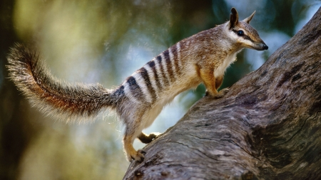 numbat - australian, numbat, rock, animal