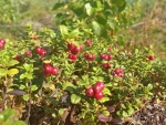 Red Bilberries