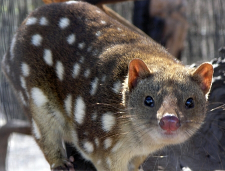 spotted tiger quoll
