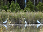 Egrets in Lake